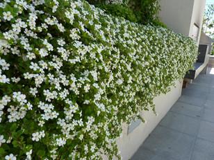 White flowering draper Bacopa syn Sutera cordata