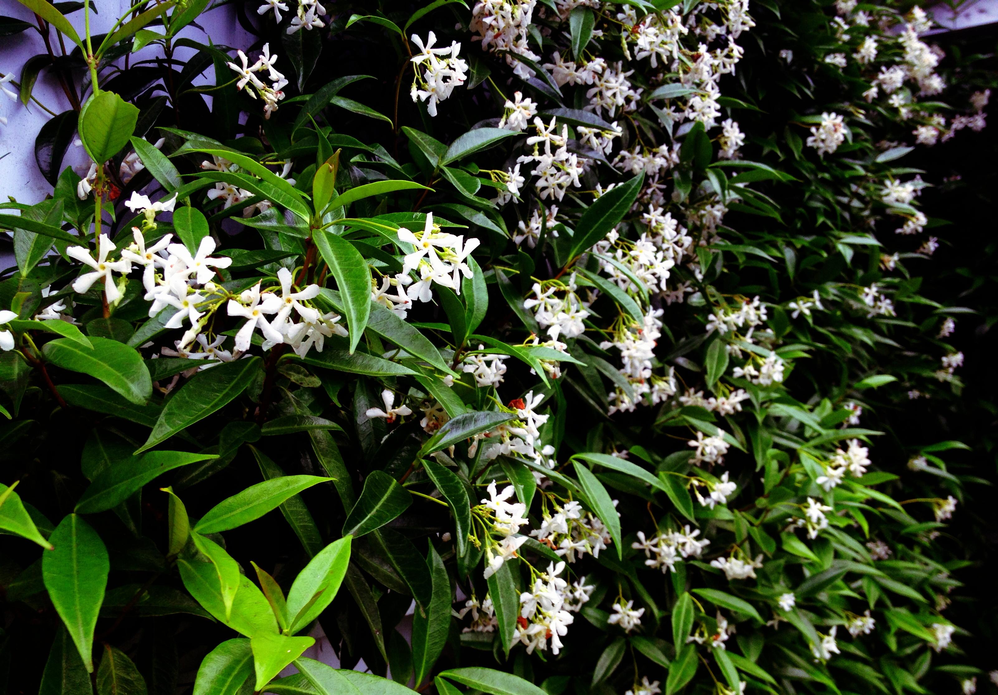 Chinese Star Jasmine flowers