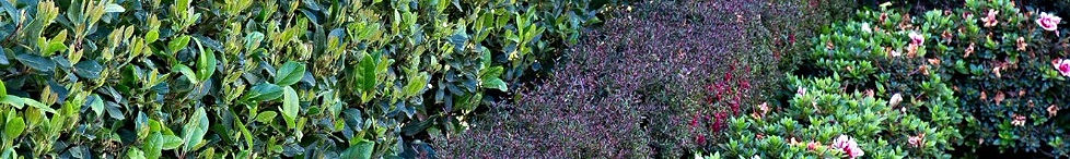 Full range of small cutting sized hedge plants