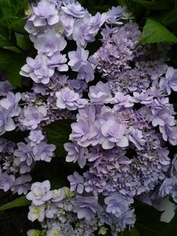 Lavender Lacecap: