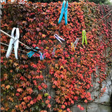 Boston Ivy backdrop to the washing line area