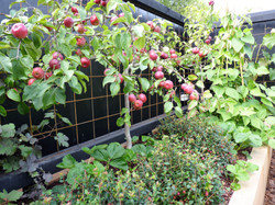Espaliered apple trees against walls