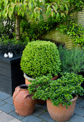 Topiary in pots
