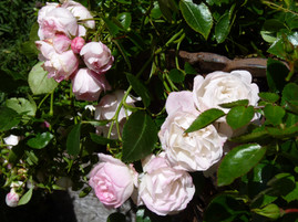 "Carpet rose ""Apple Blossom"""