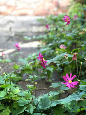 Japanese anemones on the other side of the steps