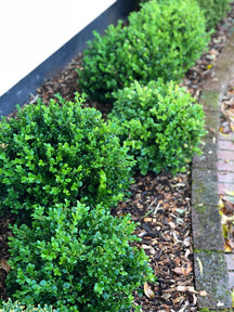 Buxus Green Gem balls in mixed sizes