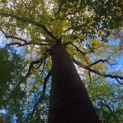 A HUGE tree at Joyce Kilmer