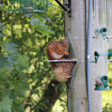 Ceril the Squirrel