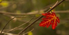 Folhas voam Maya Brasiliano.png
