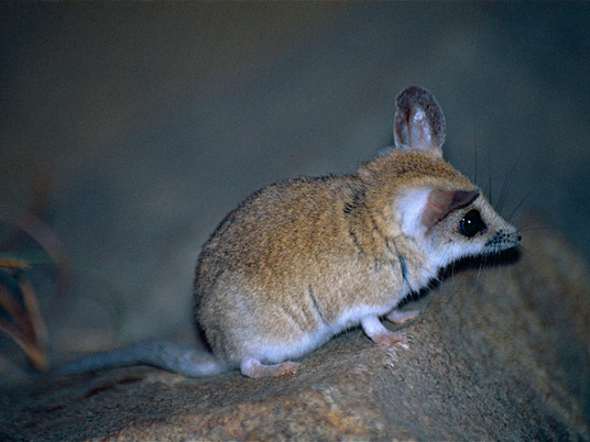 Tail of a dunnart