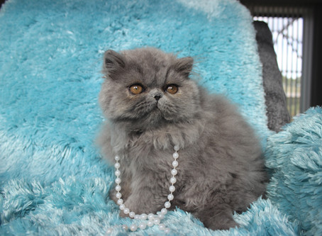 How to take care of Exotic Shorthair and Persian Kittens