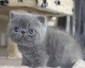 Southwest Florida Exotic Shorthair Cattery | Kittens for Sale | FL