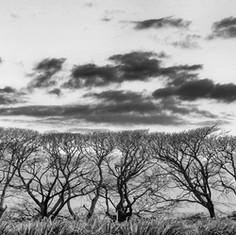Maui Trees 1X.jpg