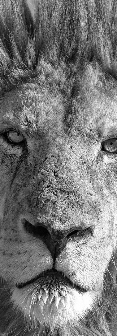 SA Male Lion CR2 BW.jpg