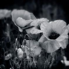 Poppies B&W Ingrid copy.jpg