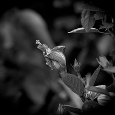 Hibiscus BW.jpg