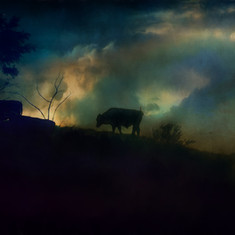 Cows on the Hill lll.jpg