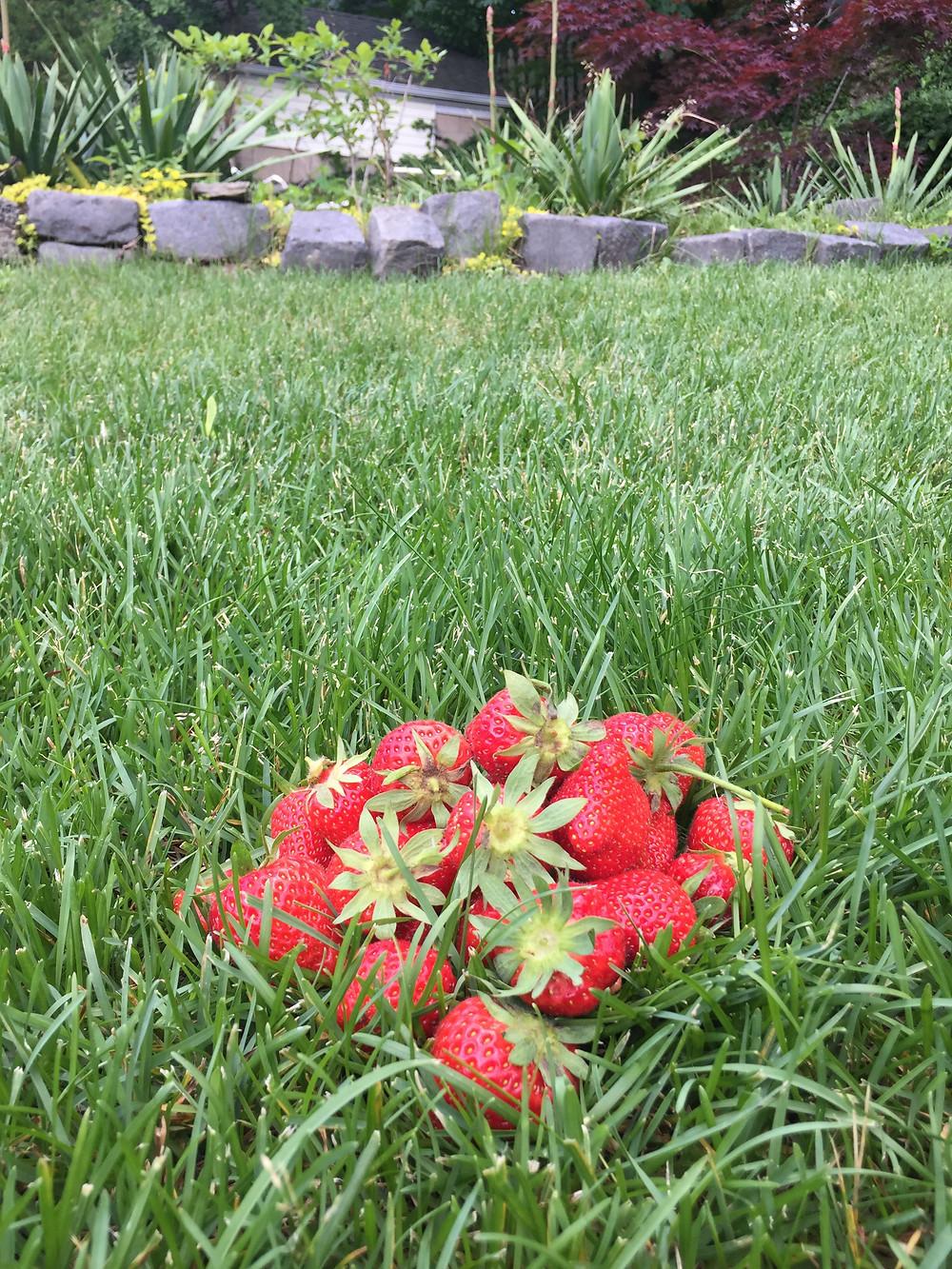 Last season's Strawberries