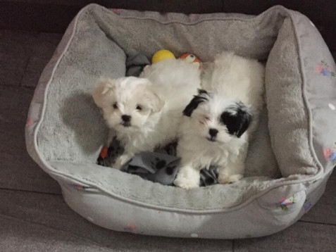 Poppy and Millie, our new Carnegie Therapy Puppies