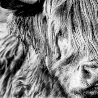 Highland cow on Mull, Scotland