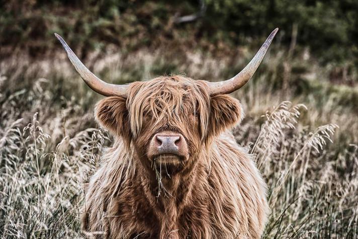 Highland cow, Mull, Scotland