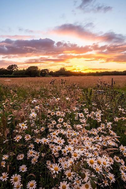 Daisies at sunset.jpg
