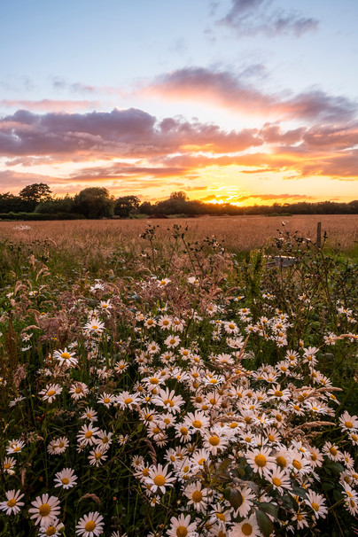 Daisies at sunset.jpg