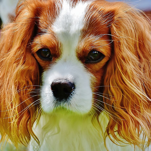 tan-and-white-cavalier-king-charles-span