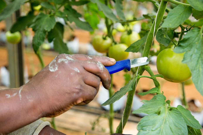 Pruning Knife