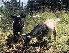 Goats.jpeg