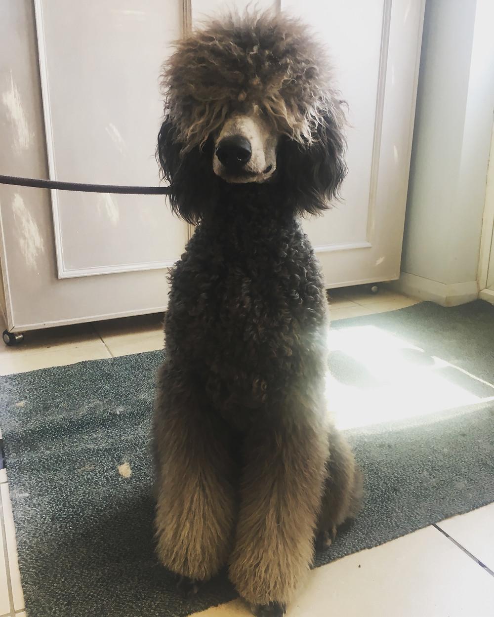 Kaiser (standard poodle)