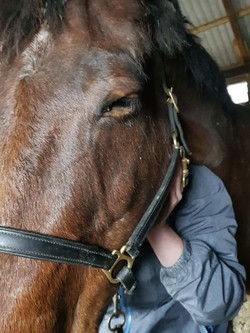 cranial work on horse