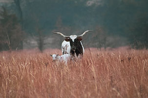 Longhorn and baby