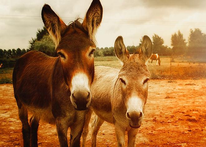 two-brown-donkeys-768078.jpg