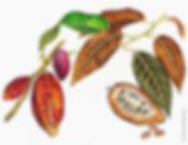 kakao_pflanze.jpg
