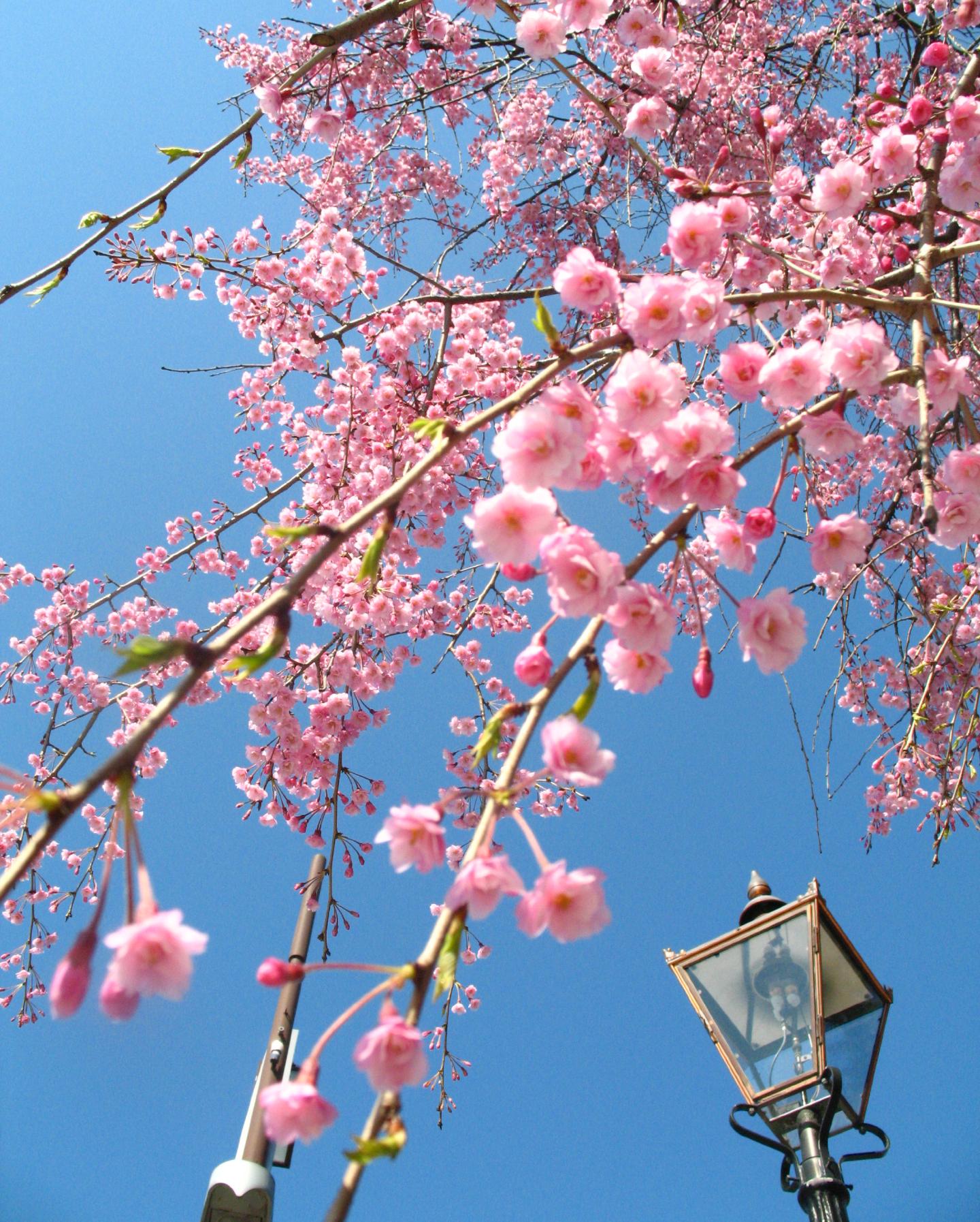 Sakura blossoms in Japan