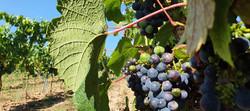 The wineyards | יקבים פולנים