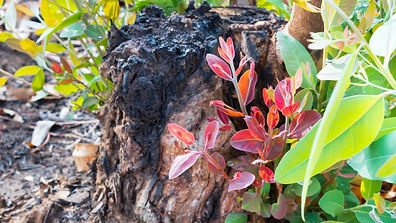 Regenerating Eucalyptus trees after fire. Eucalyptus can survive and re-sprout from buds u