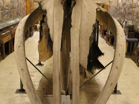 Registros históricos dos ossos de baleias