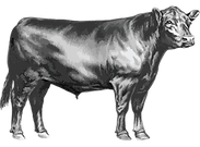 CV-Beef_Cow_Web.png