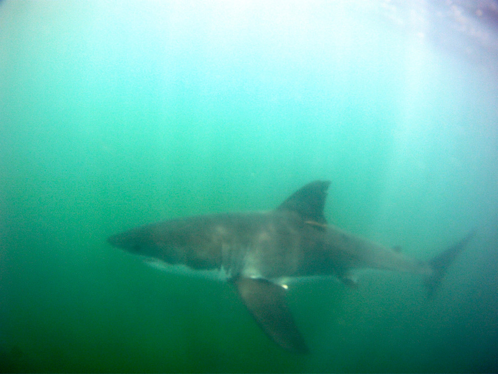 All underwater shark images and video captured on my GoPro