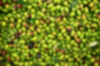 Olive Yard Rosa Dei Venti Tuscany - Capalbio