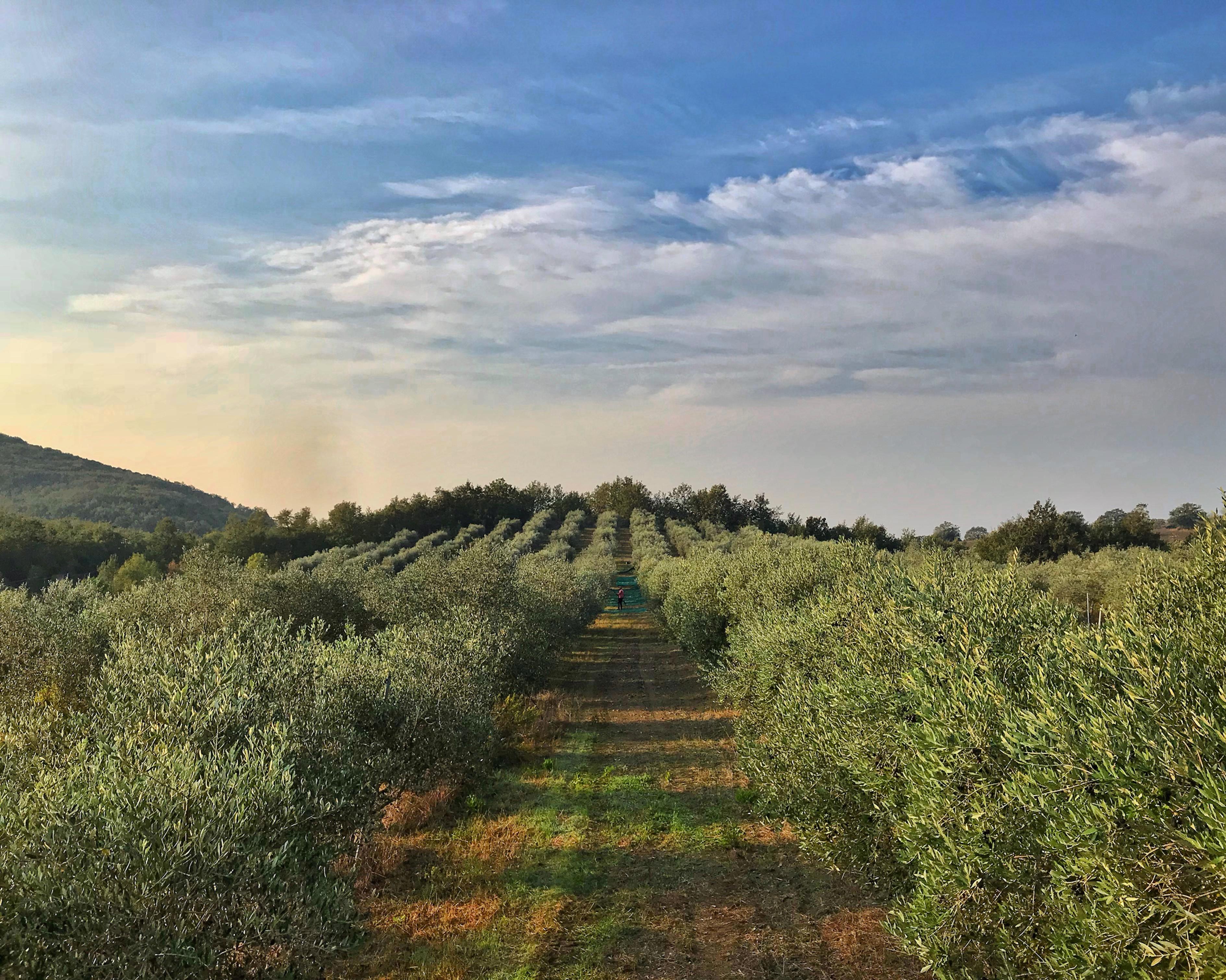 Visita in Oliveto + Degustazione Oli