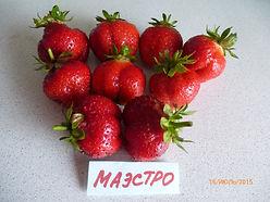 маэстро. фото и описание сорта