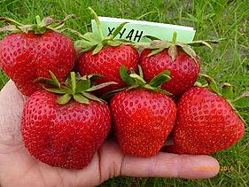 хуан. огромные ягоды на ладони.JPG