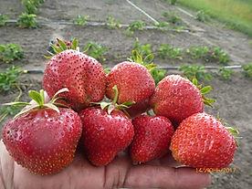 кембридж фаворит ягоды на ладони.JPG