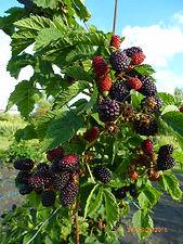 валдо. ветка с ягодами1.JPG