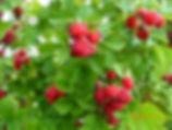 ред даймонд близко грозди ягод.JPG