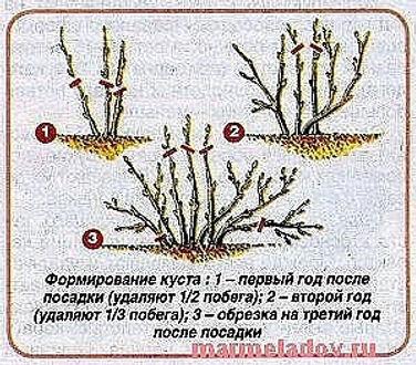 смородина 2.jpg