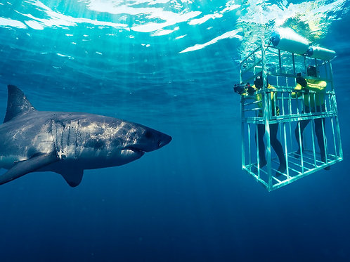Shark cage diving with breakfast, lunch and transport